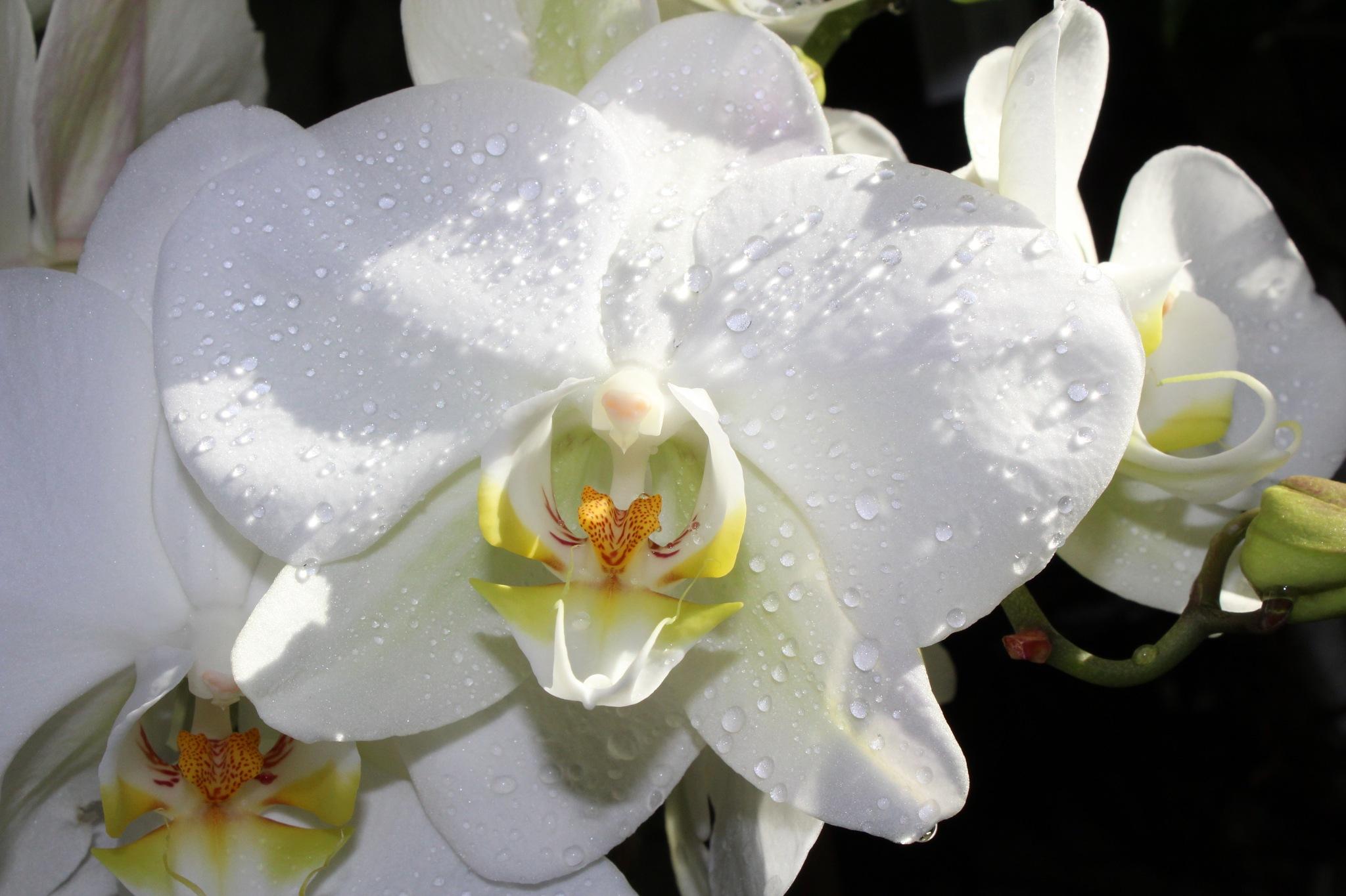 Orchidea  by Kamil Adamuszek