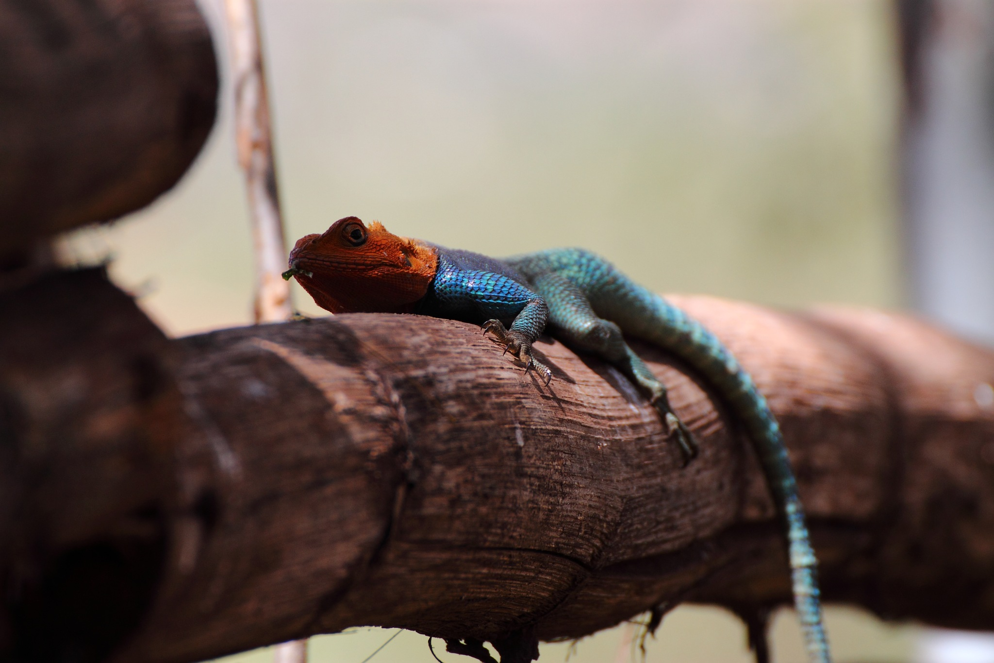 Agama Lizard,  by Markus Lindhe