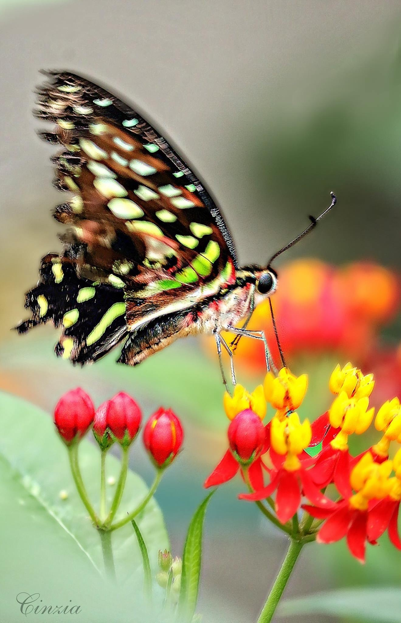 Painted lady in motion by Cynthia Magliocco  by cynthiasignaturephoto
