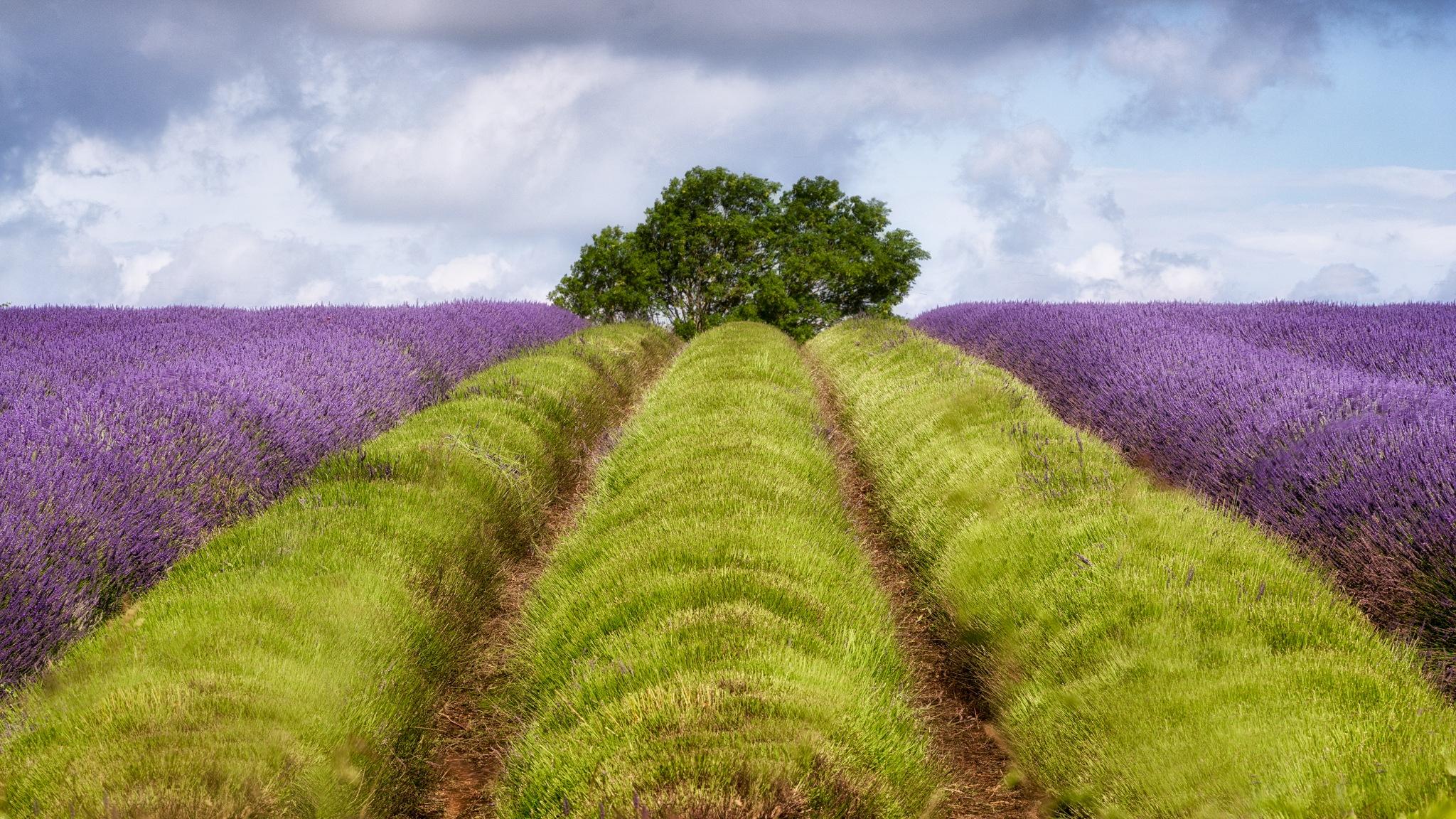 Sargent Lavender by Alan Ranger Photography