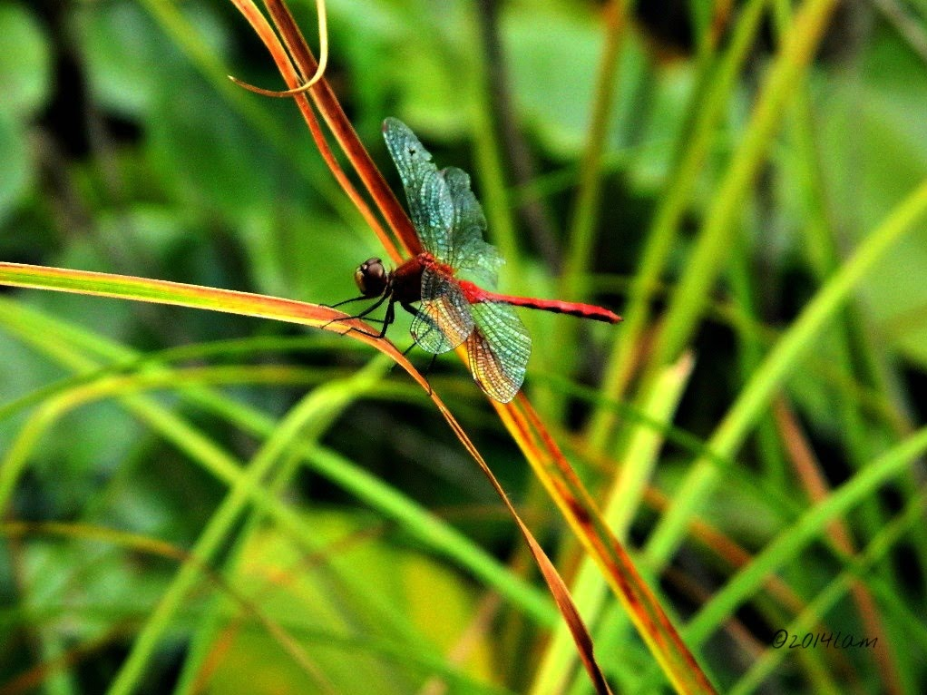 Red dragonfly #1 by Lisa A Manco