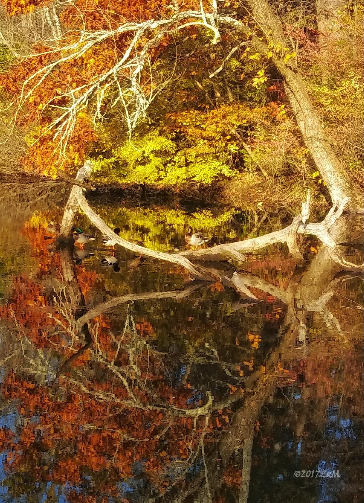 ducks in Autumn by Lisa A Manco