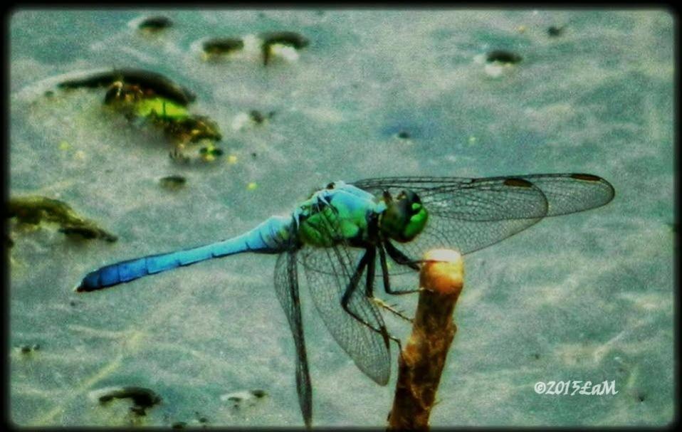dragonfly by Lisa A Manco