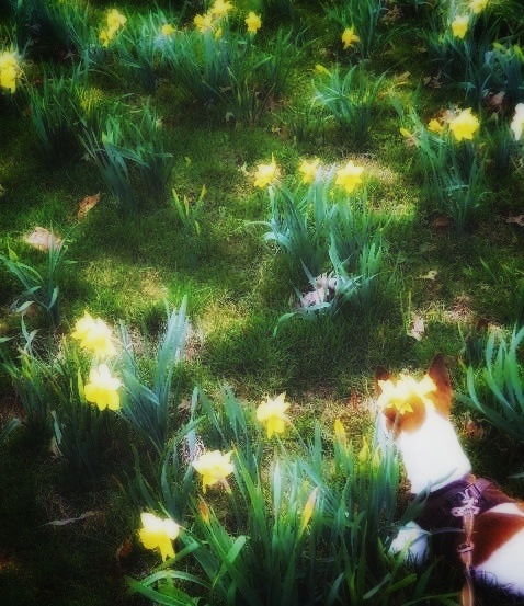 Jessie in a field of glowing wild daffodils by Lisa A Manco ❤
