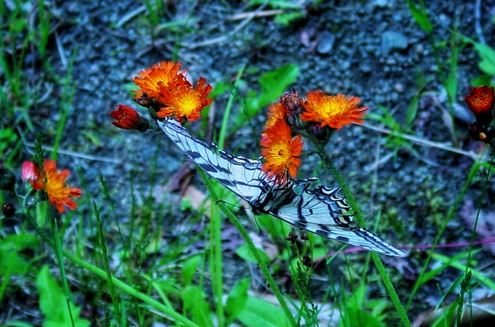 butterfly kisses  by Lisa A Manco