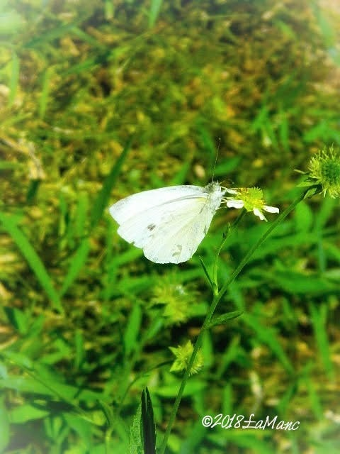 green-veined butterfly by Lisa A Manco ❤
