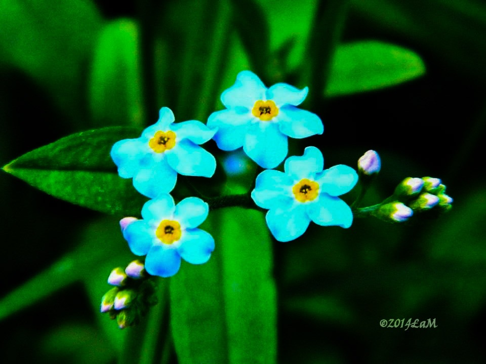 forget-me-not by Lisa A Manco
