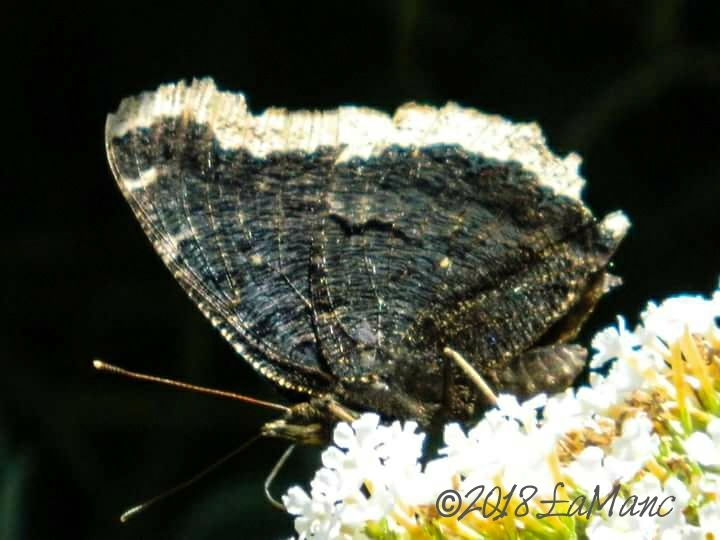 """nymphalus antiopa - """"mourning cloak"""" by Lisa A Manco"""