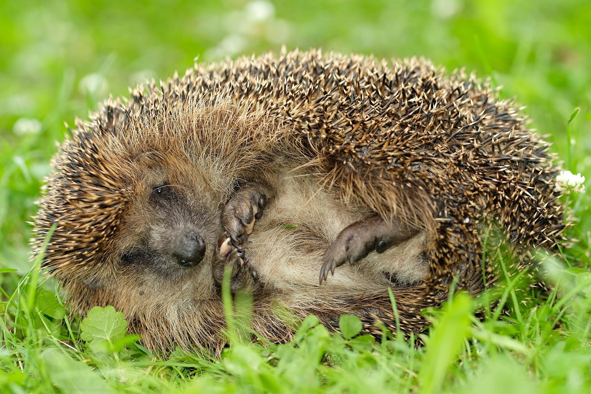 hedgehog sleep on garden by Adam photo walker
