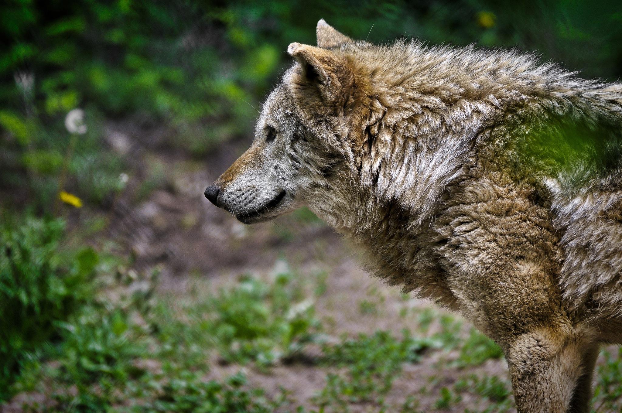 Wolf by Mathias Zippler