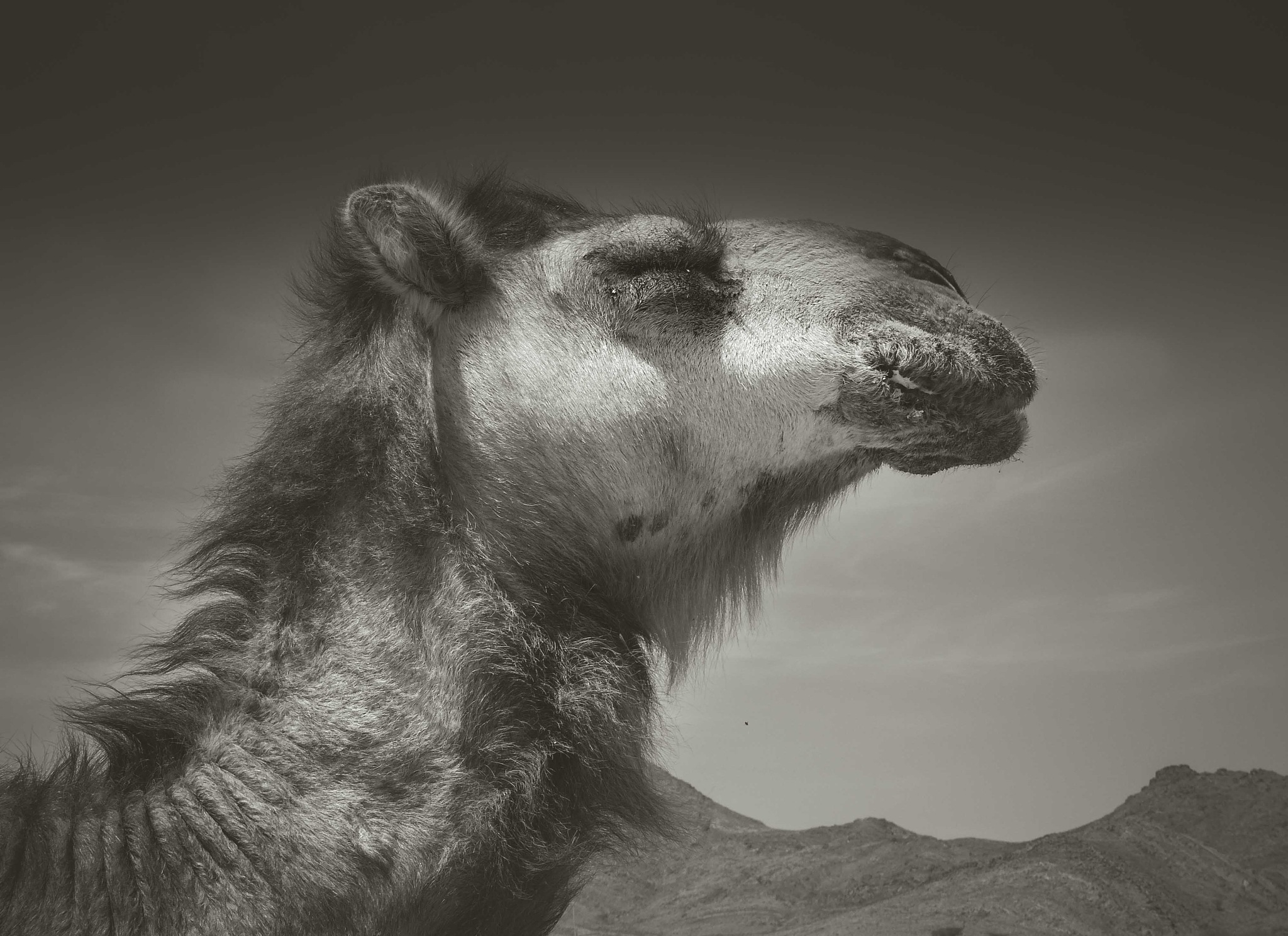 camel by Mohcine Rabhi