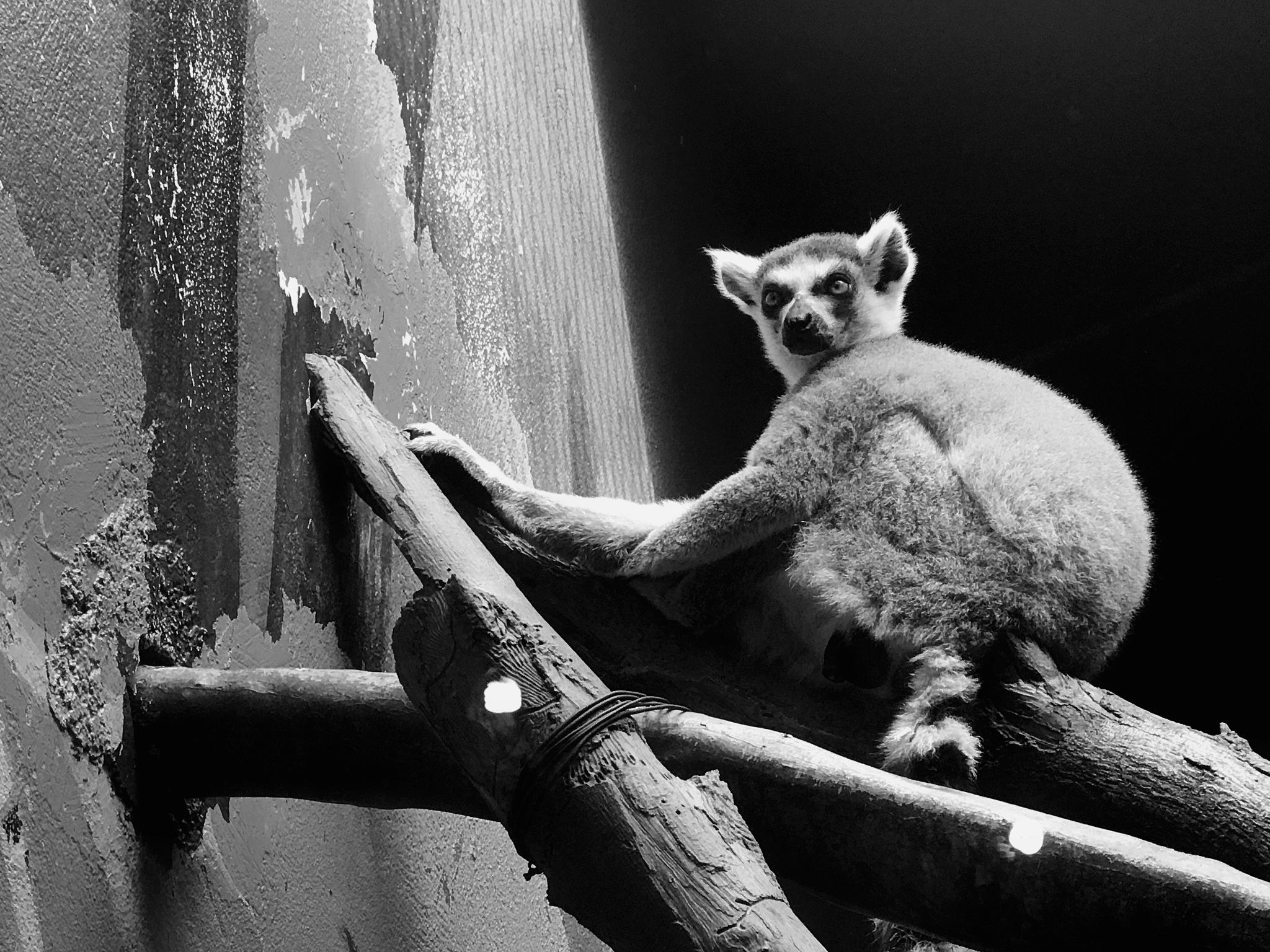 A Lemur  by Alejandro Rodriguez