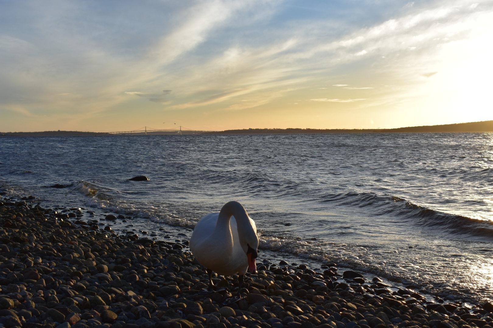 Swan at sea shore by Felix Flores