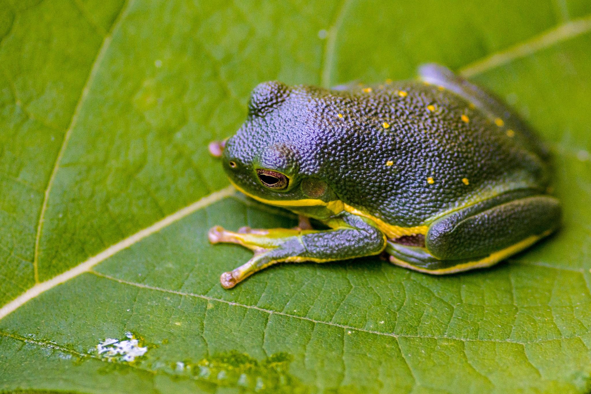 Barking tree frog by Tony Bierman