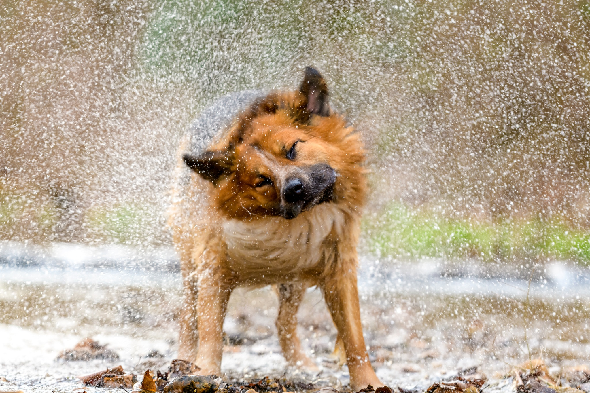 Photo in Animal #dog #animals #pet #funny #english shepherd #canine #fun #water #creek #stream #hiking