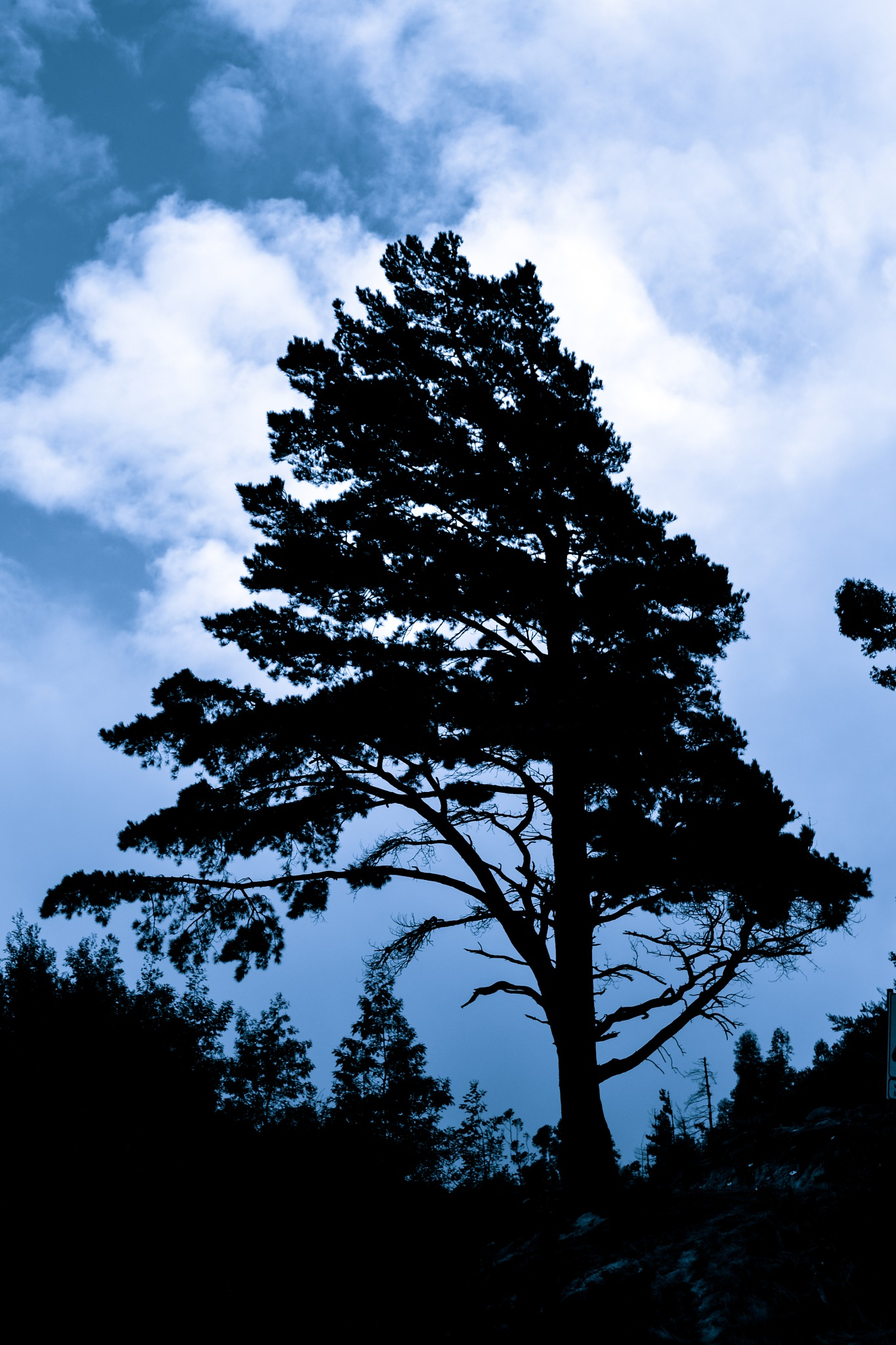 Pine Tree Silhouette   by Norman Myburgh