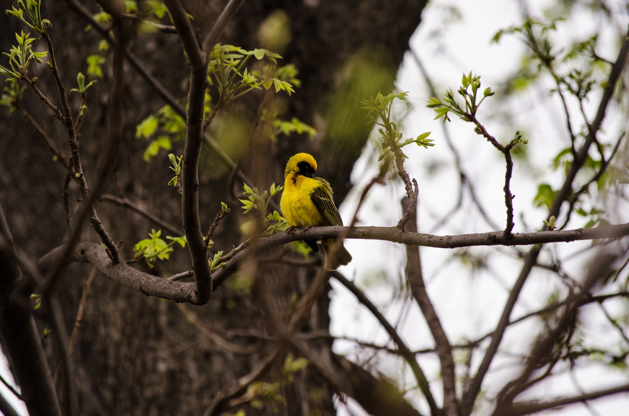 Yellow Finch  by Norman Myburgh