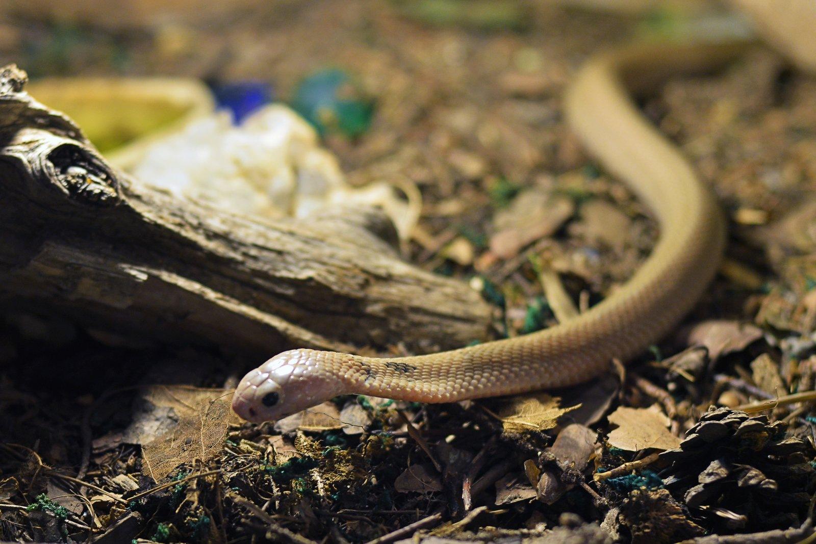 Little cobra by Mitja Derenda
