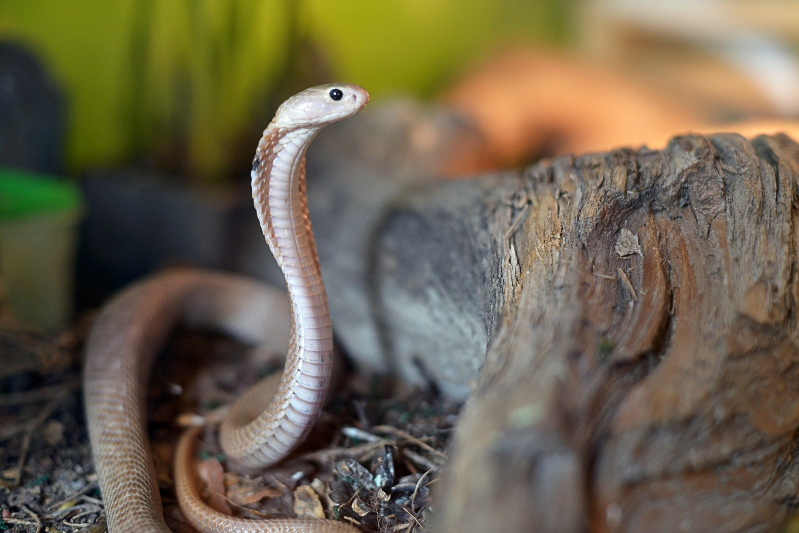 Cobra by Mitja Derenda