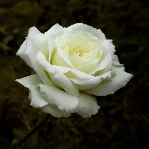 white rose...  by Shaket Kumar