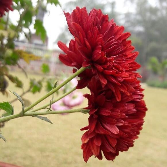 red blossom  by Shaket Kumar