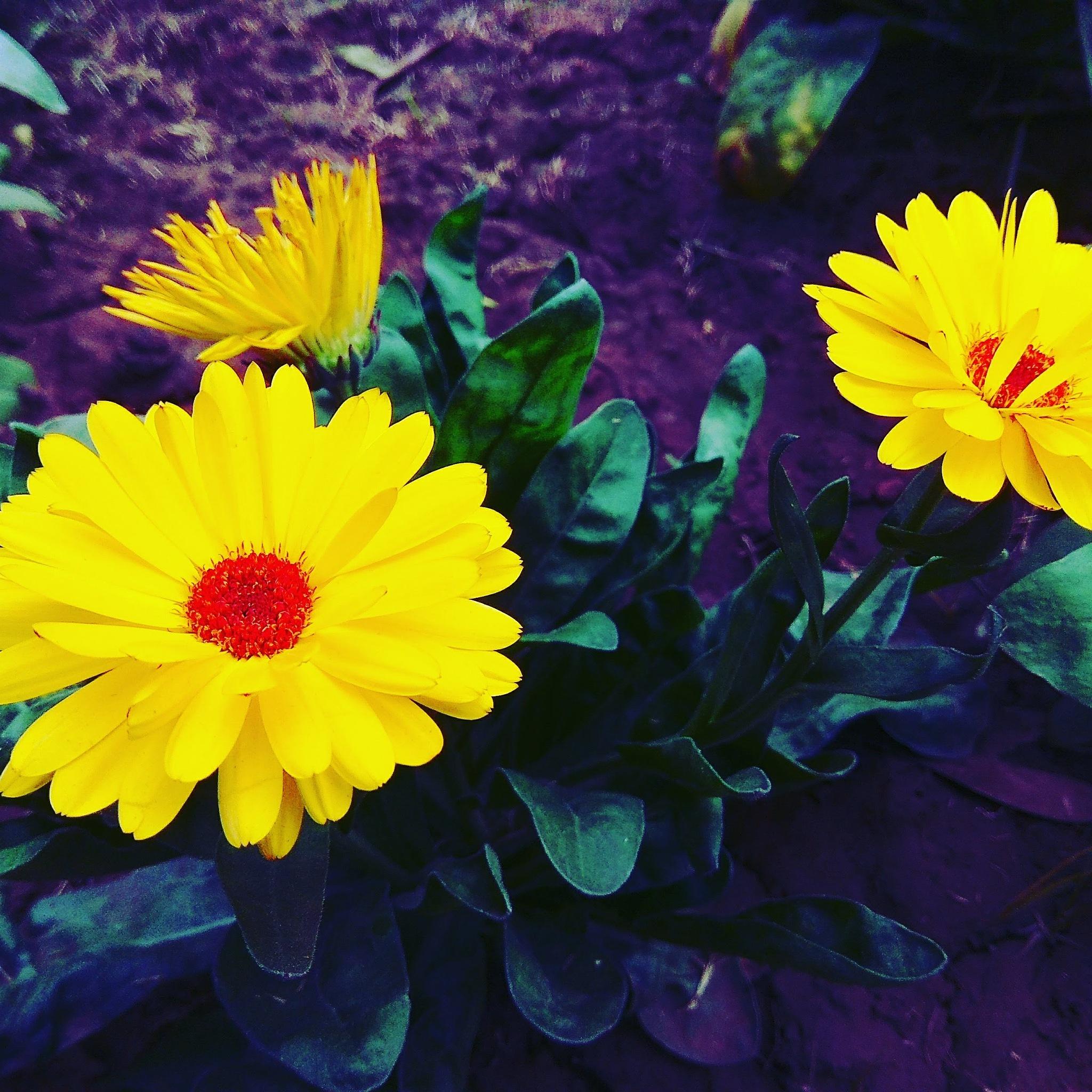 yellow with cherry  by Shaket Kumar