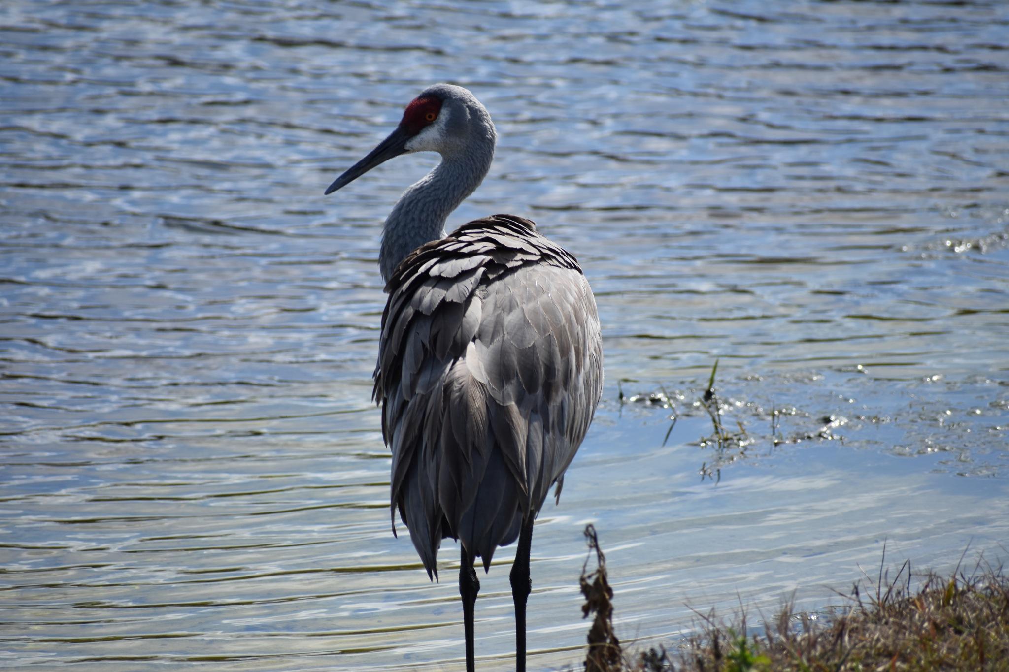 Pond Heron by Gabriel Rolon