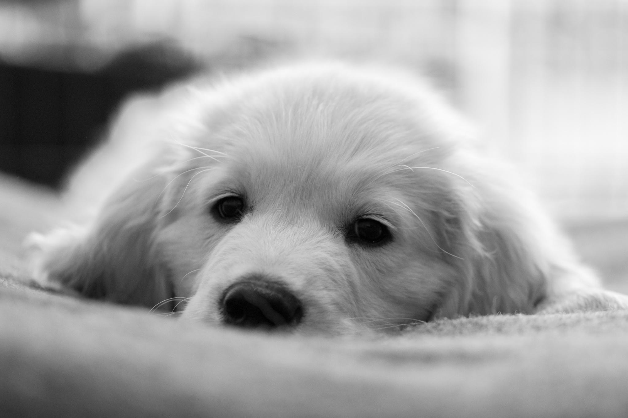 Golden Pup 1 by Ed Allen