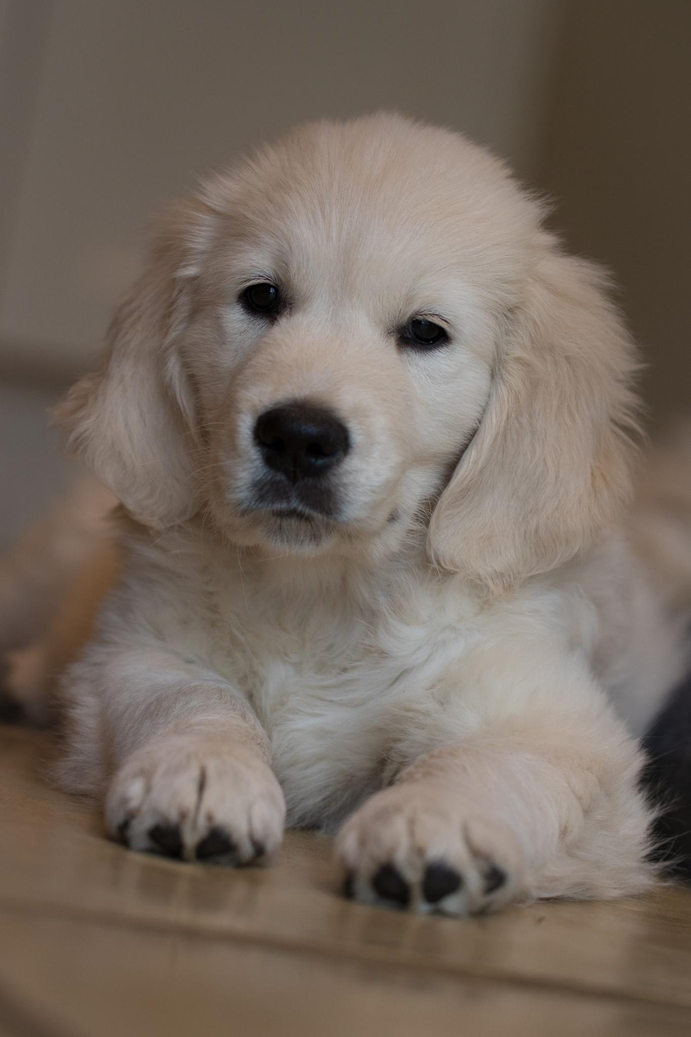 Golden Pup 2  by Ed Allen