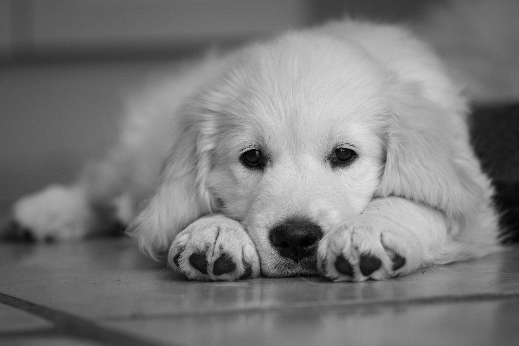 Golden Retriever Puppy <3 by Ed Allen