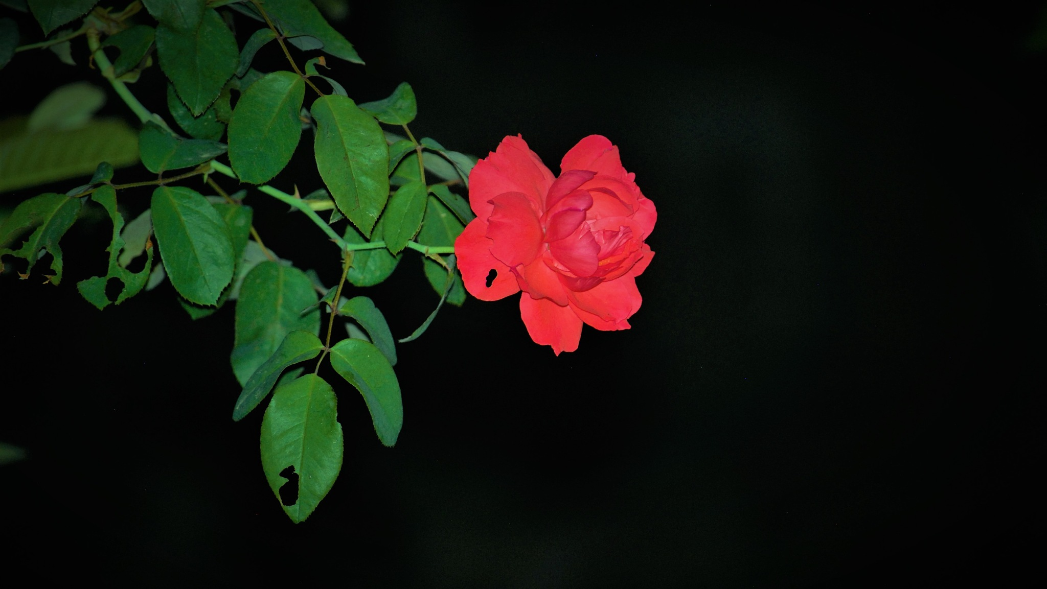 #nightshot #rose #redrose #Nepal #photography by Subash Tiwari