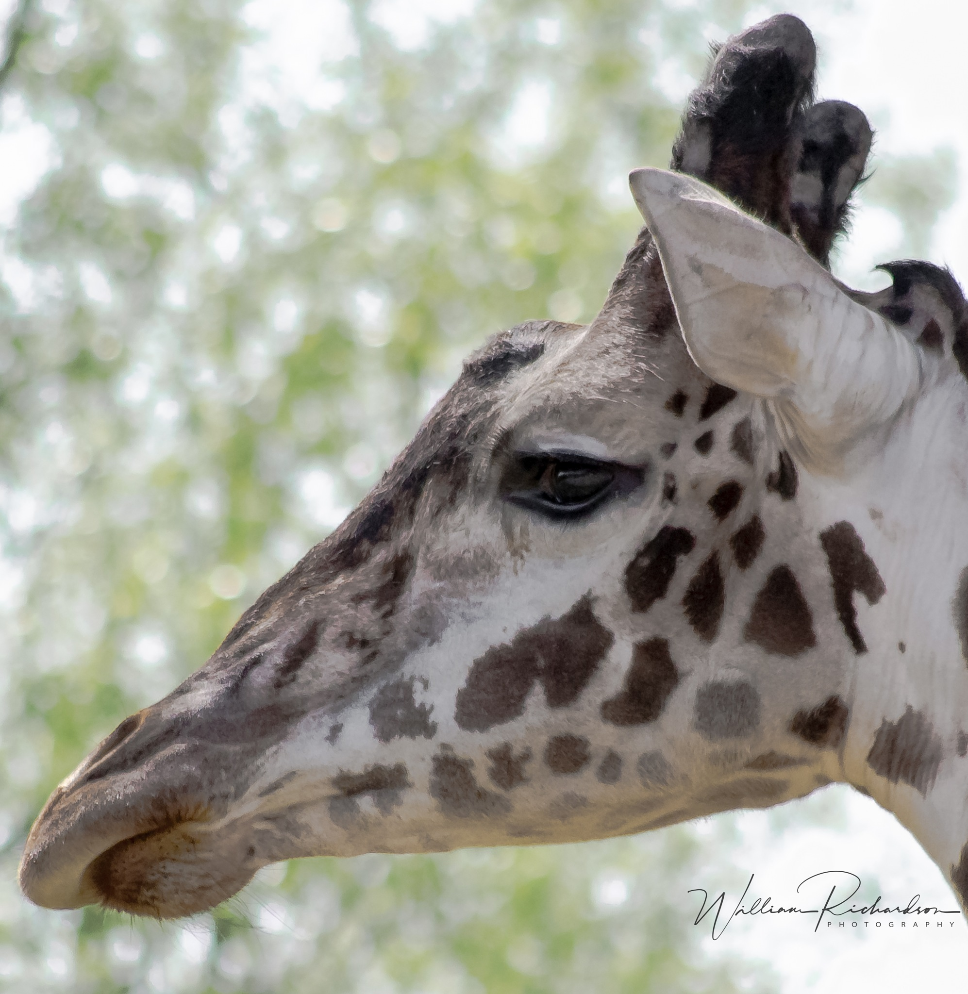 Giraffe by William Richardson
