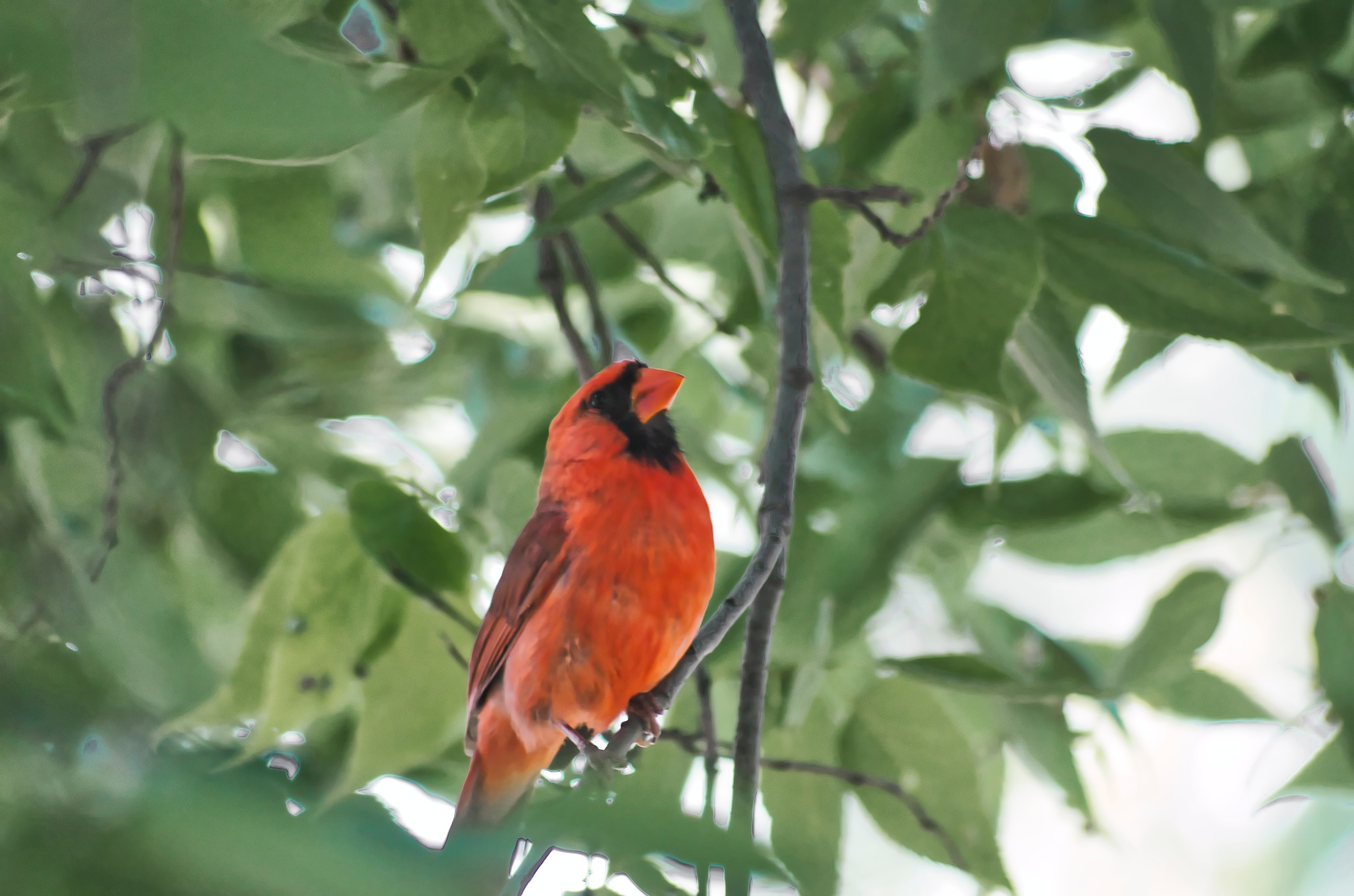 Male Cardinal  by William Richardson