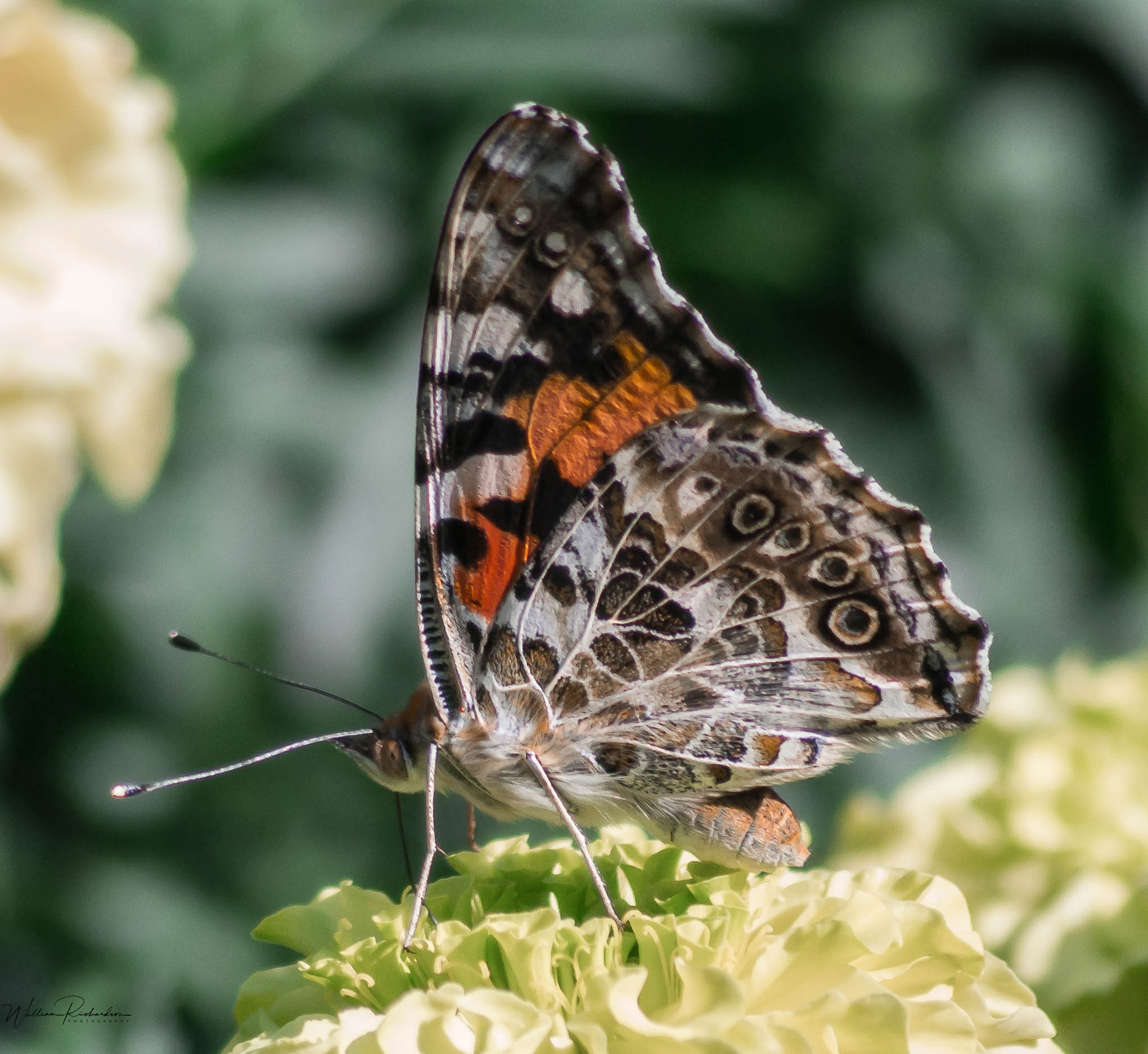 Painted Lady Butterfly by William Richardson