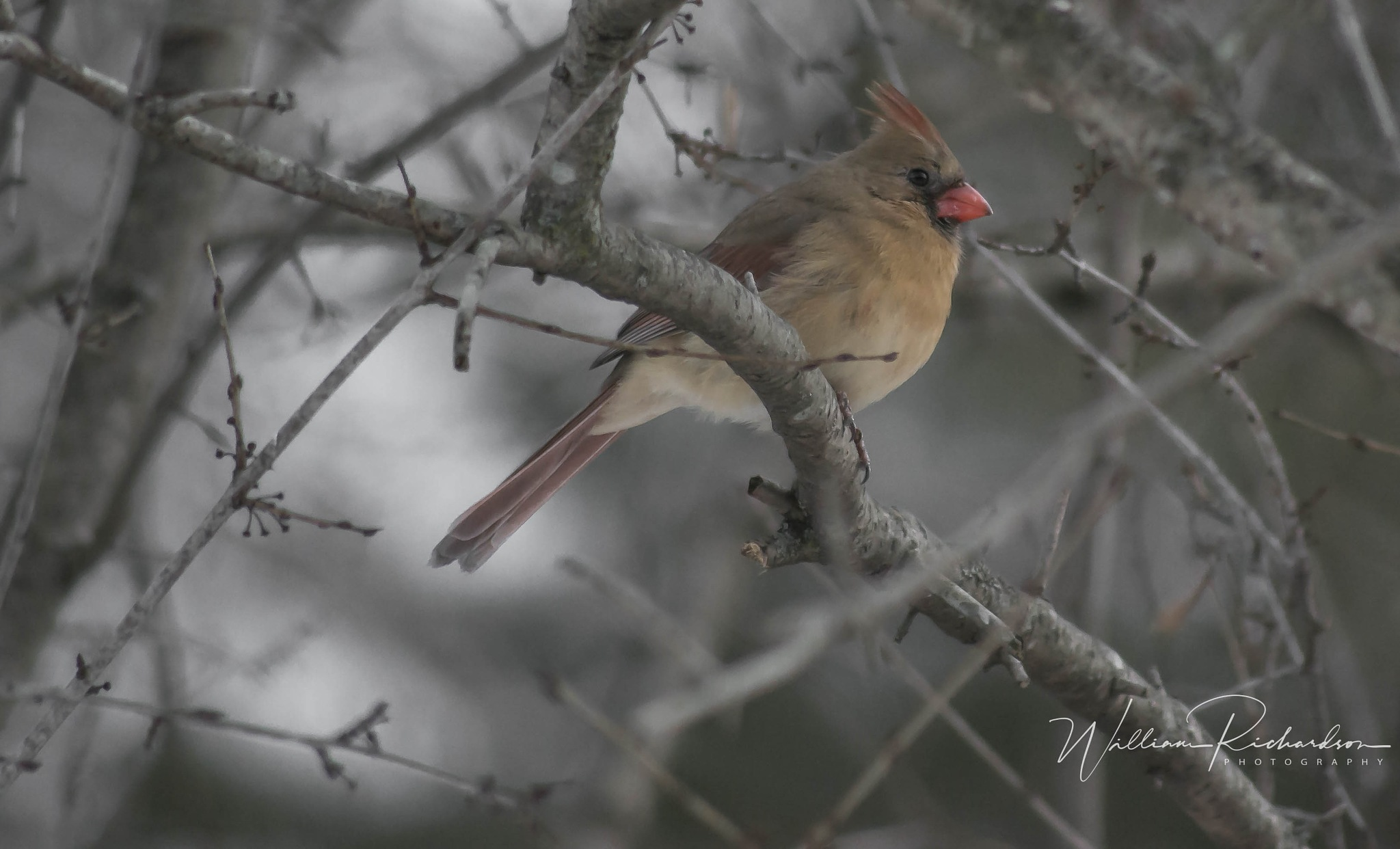 Female Northern Cardinal by William Richardson