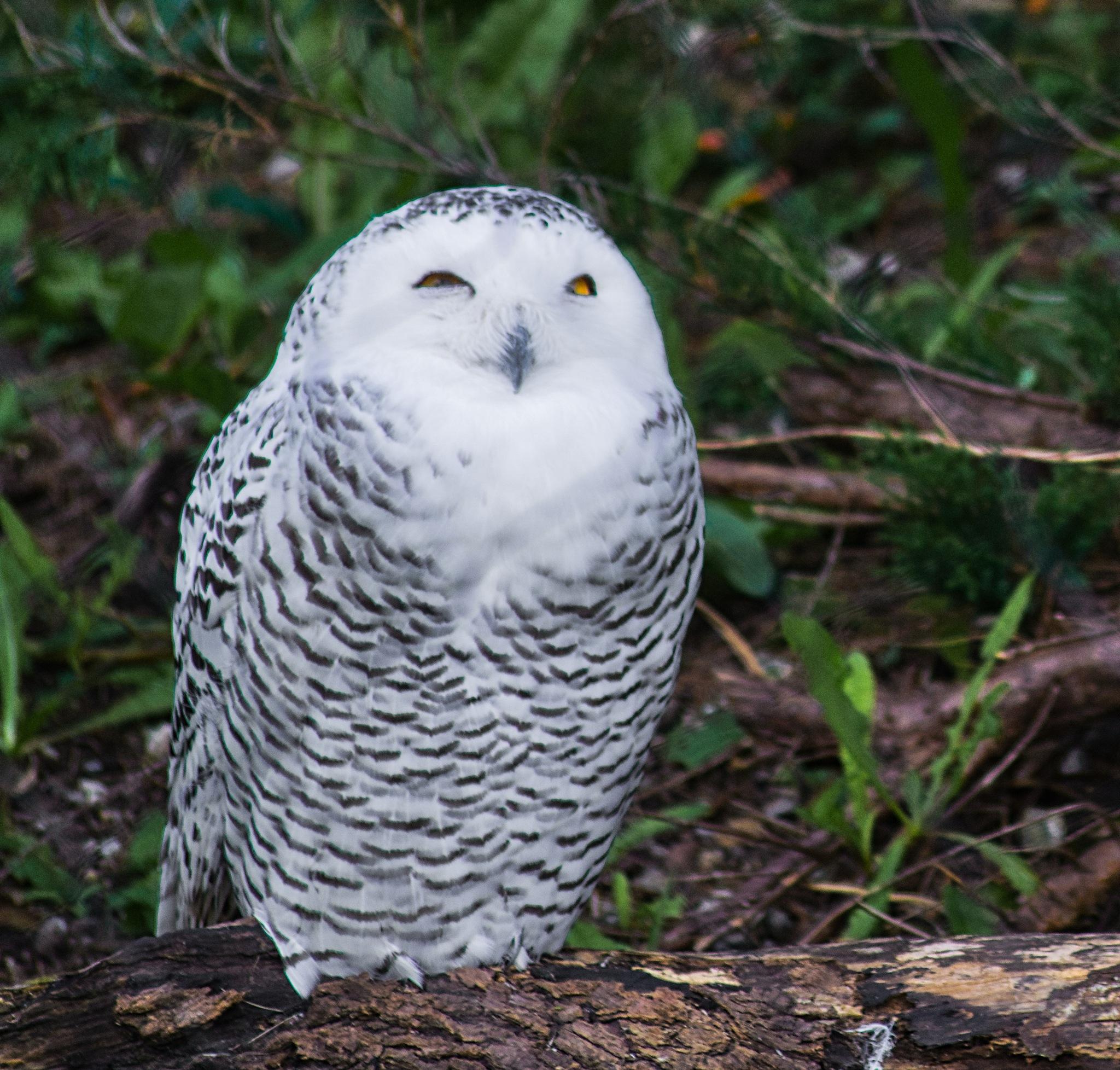 Snowy Owl by William Richardson