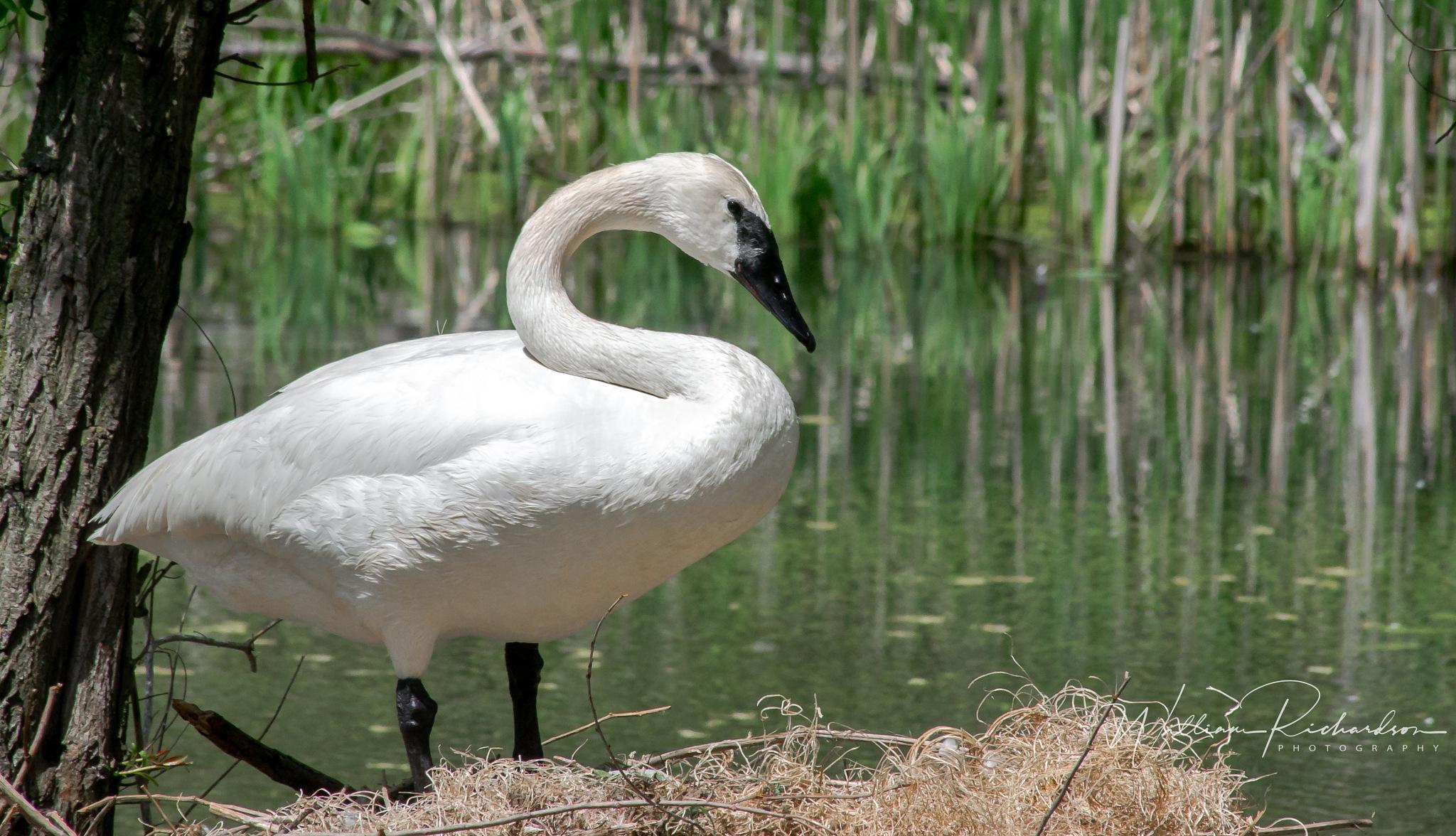 Swan by William Richardson