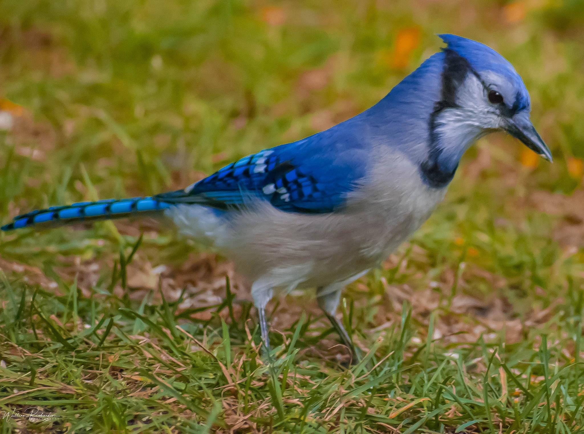 Blue Jay by William Richardson