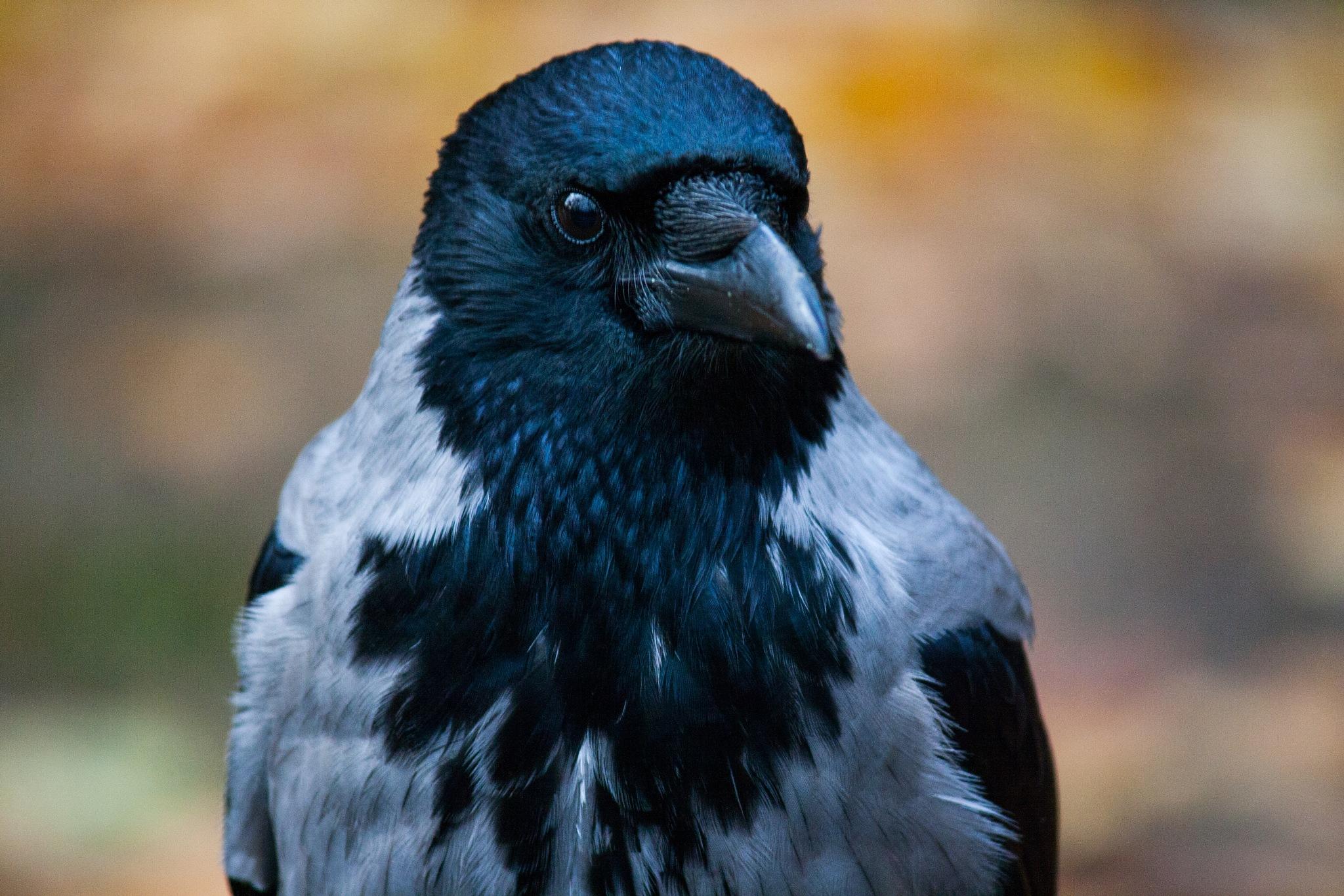 Gray crow by Maciej Rekowski