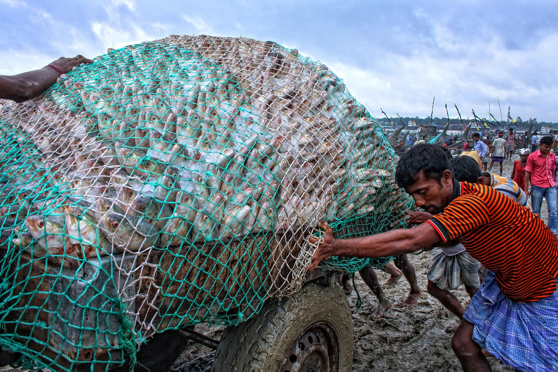 National fish of Bangladesh by Md Akhlas Uddin
