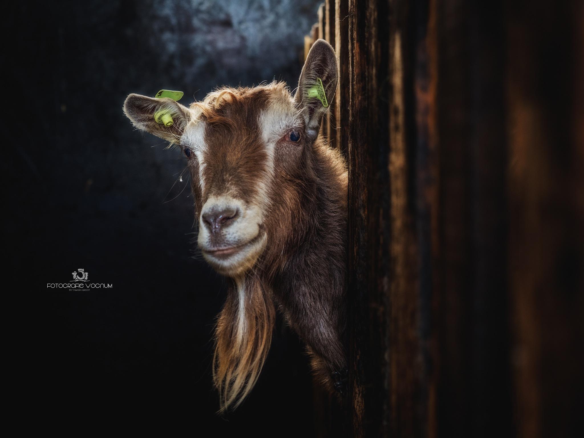 goat by Tamara Groot