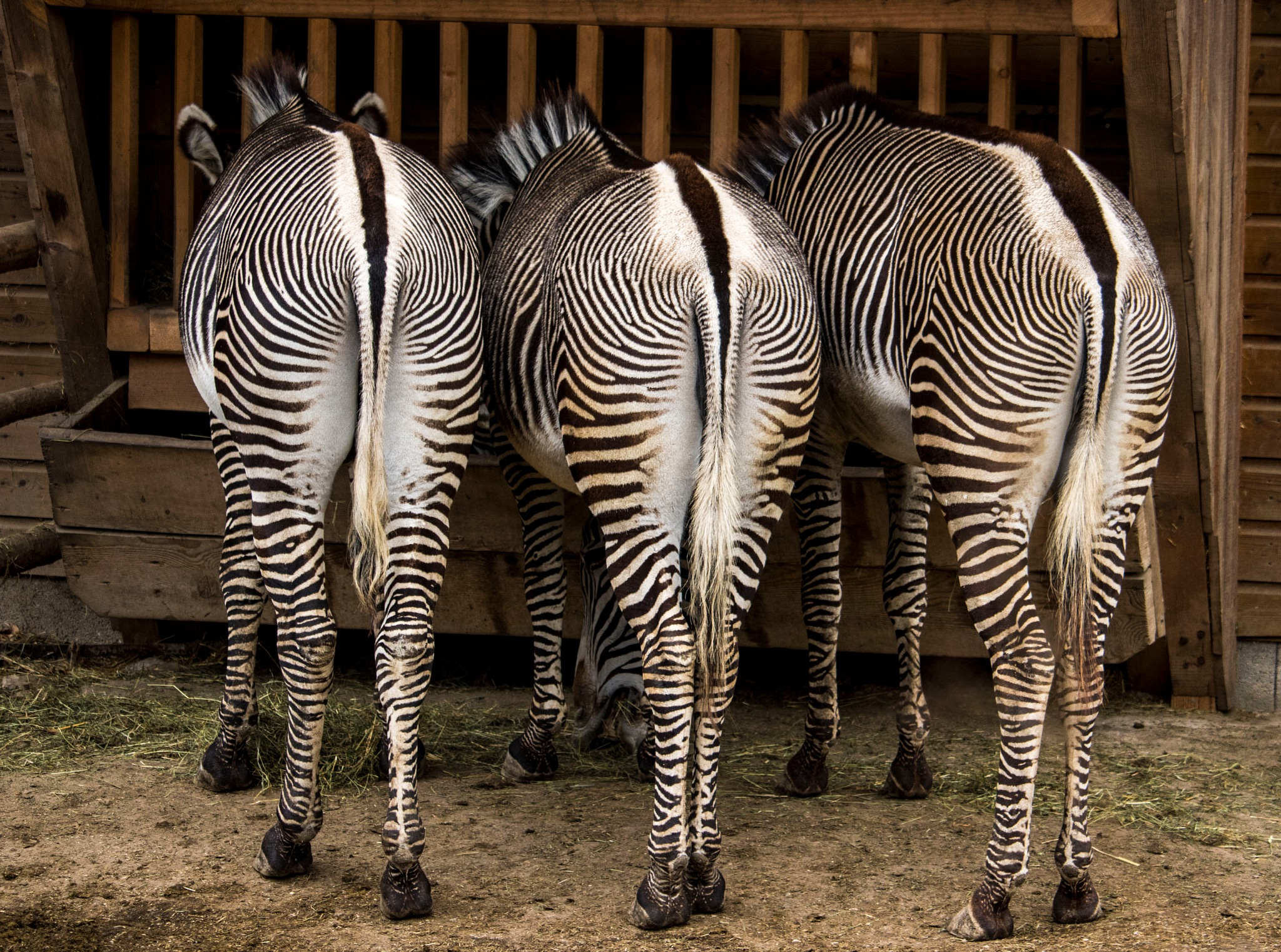 Zebra  by have2look
