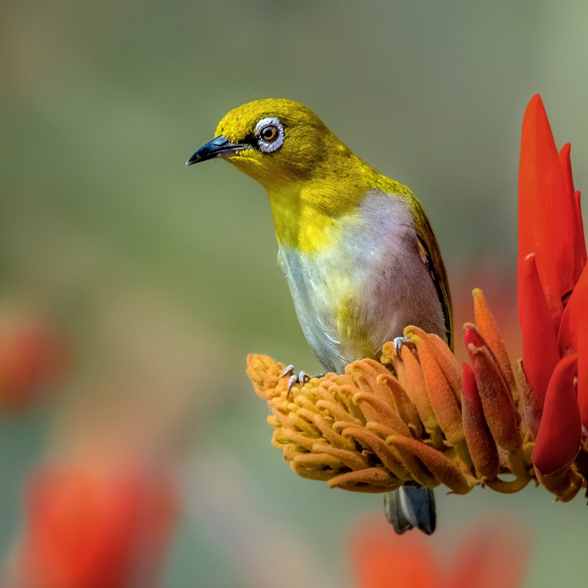 Oriental White-Eye by Nafis Ameen