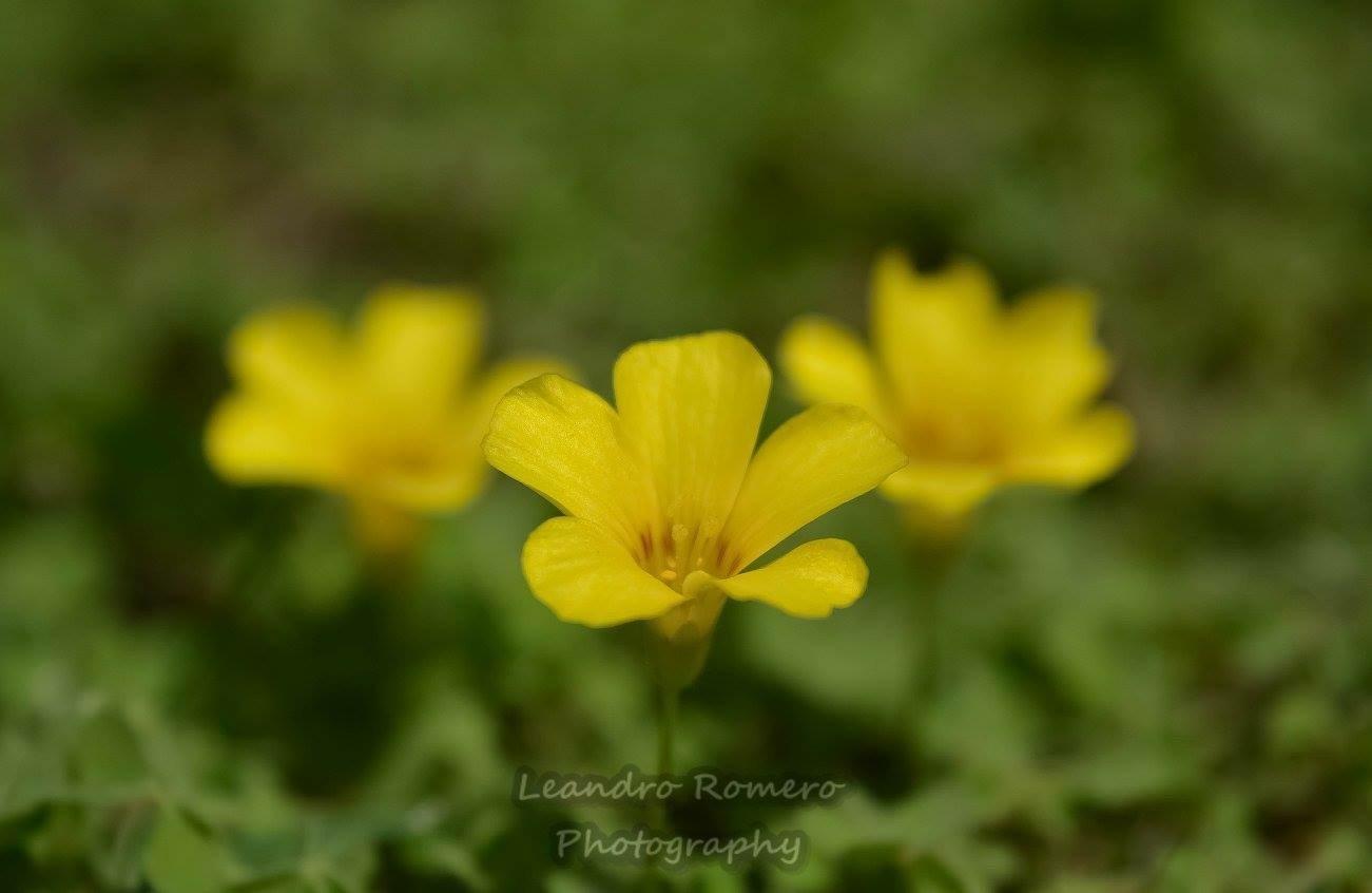 Flowers by Leandro Romero