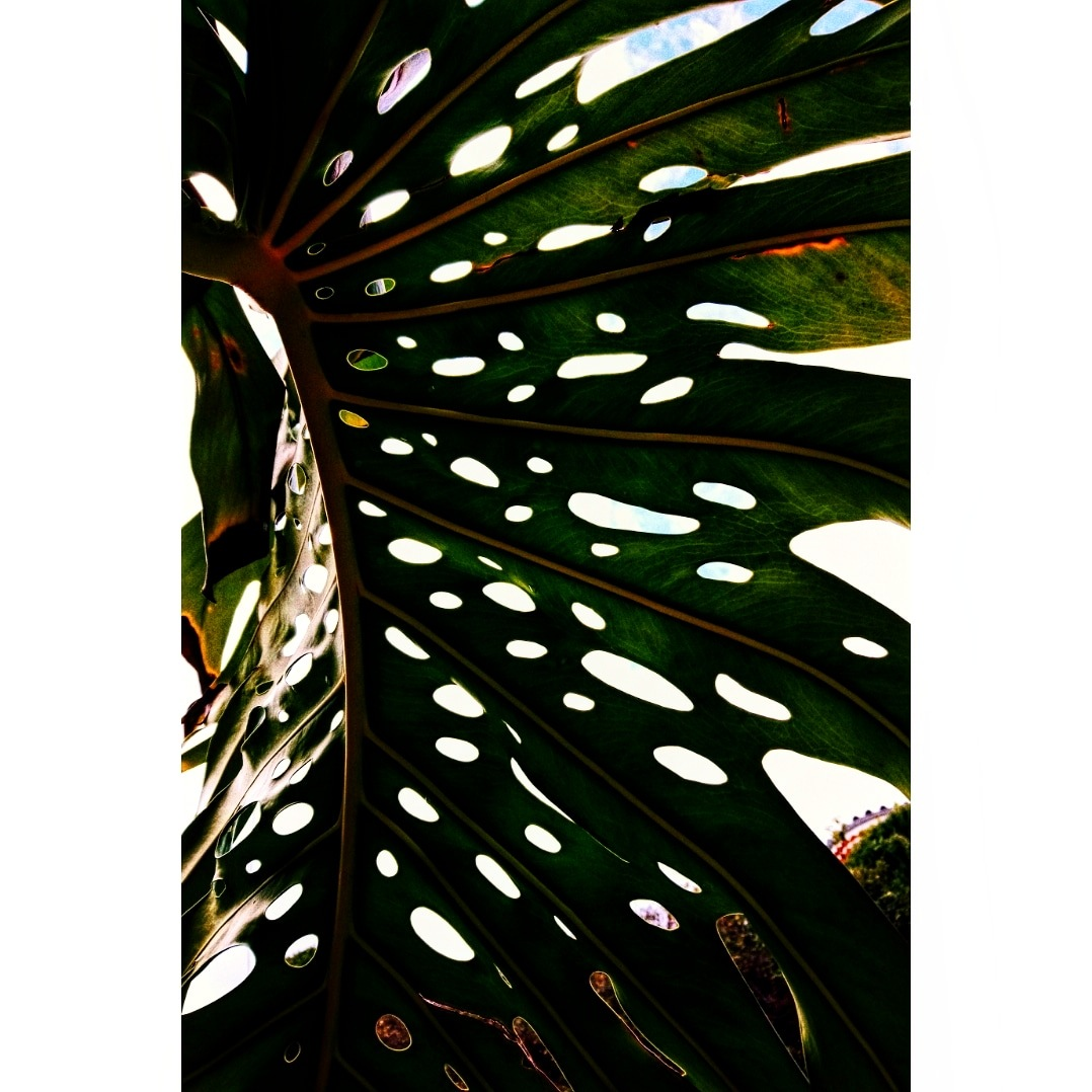 Banana Tree Leaf.  by Camille Swierc