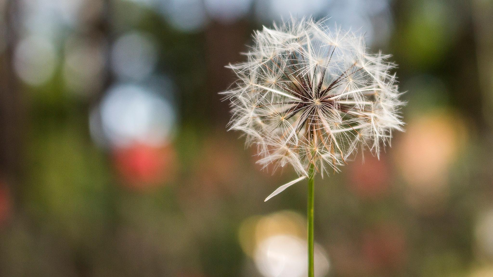 dandelion by Beta Schmitz