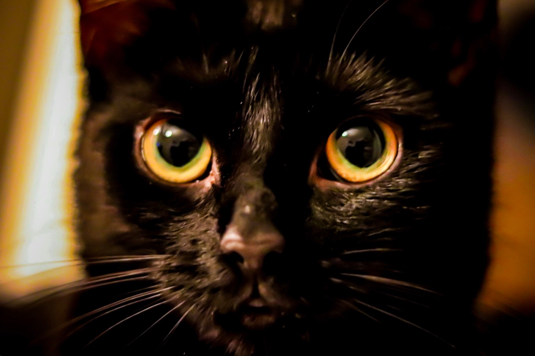 Kitten  by Director Specs