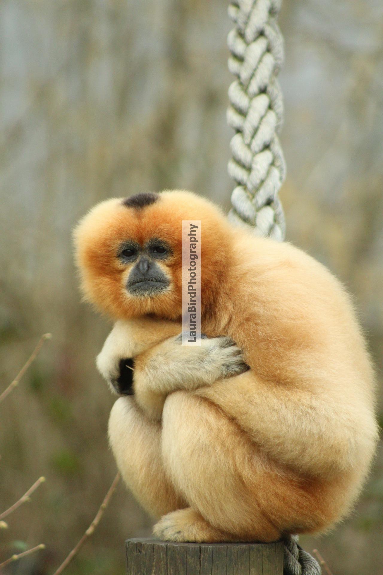 Lar Gibbon by Laura Bird