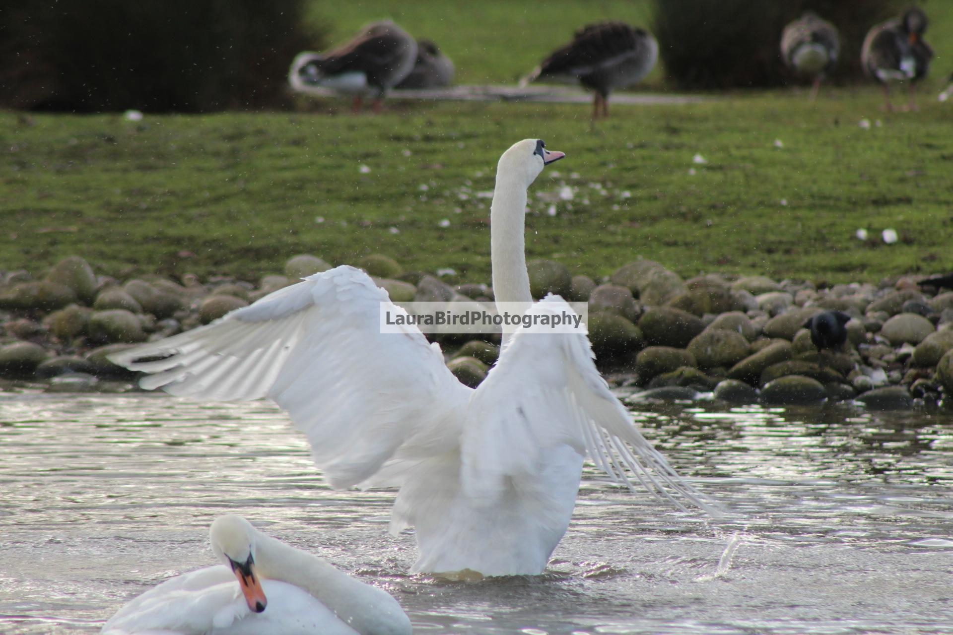Swan by Laura Bird