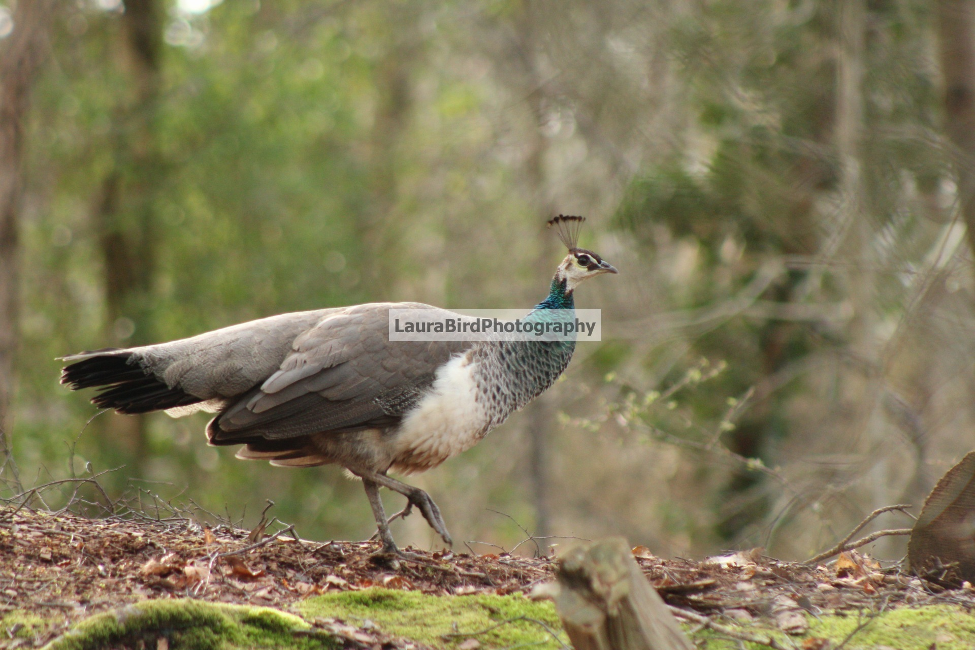 Peahen ll by Laura Bird